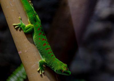 schmetterlingshaus-gecko-web